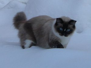 Van Zeewolde Lily of the Valley seal point mitted ragdoll poes
