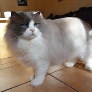 Pacificats Butterfinger blue point bicolor ragdoll kater