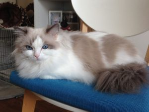Allweneedis Commitment blue point bicolor ragdoll poes