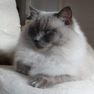 Allweneedis Dedication blue colorpoint ragdoll kater