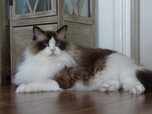 Allweneedis Desire seal point bicolor ragdoll poes