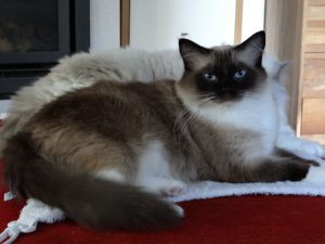 Allweneedis Essence seal point mitted ragdoll poes