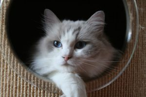 Allweneedis Happy Go Lucky blue point bicolor ragdoll poes