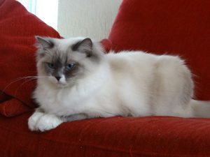 Allweneedis Keep the Faith blue point mitted ragdoll poes