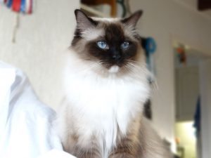 Allweneedis Muse seal point mitted ragdoll poes