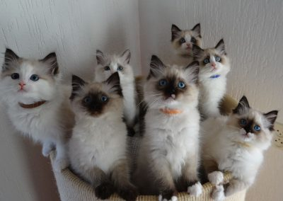 nest Ragdoll kittens