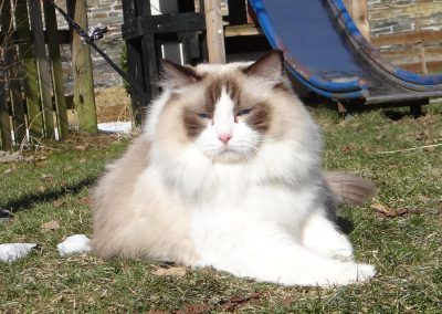 Allweneedis Pure Chocolate Passion chocolate point bicolor ragdoll kater