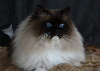 seal point mitted Ragdoll kater