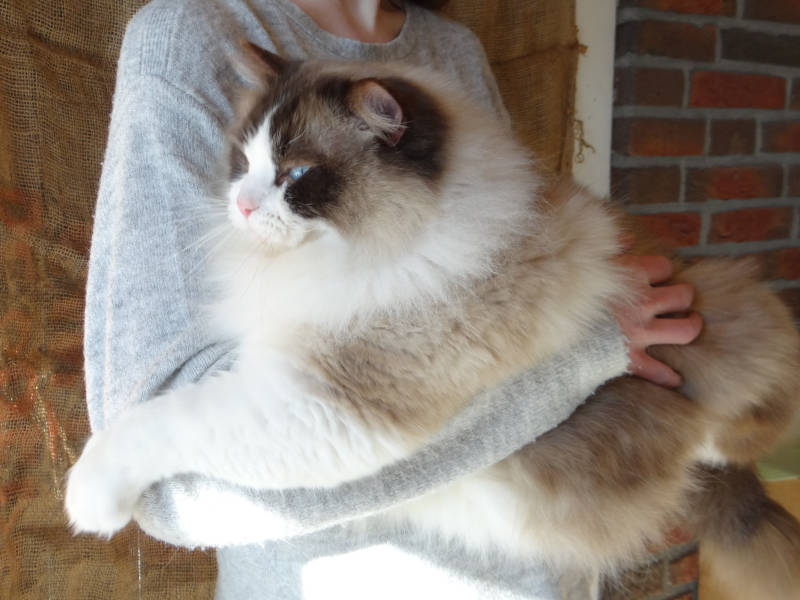Allweneedis One Small Step seal point bicolor ragdoll kater