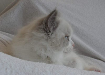 profiel blue point bicolor ragdoll kitten dag 61