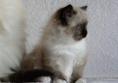 seal point mitted ragdoll kitten dag 61