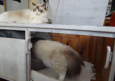 Pasgeboren Ragdoll kittens