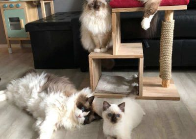 Our Ragdoll familie at Ladylola
