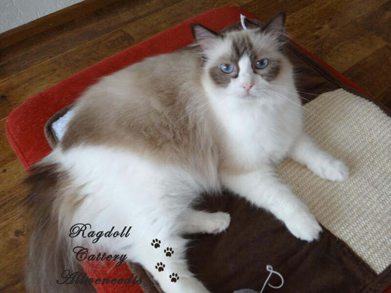 Chocolate point bicolour Ragdoll poes