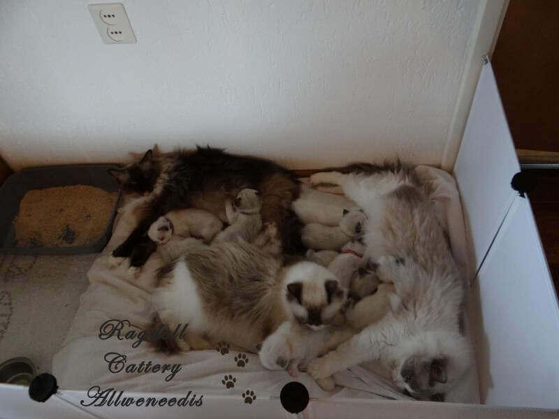 Ragdoll kittens CC & DD nest 4 & 5 weken.